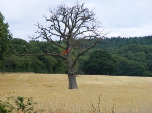 Red Kite in dead tree